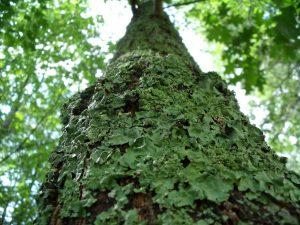 Lichen Tree