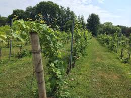A row of grapes growing in a vineyard.