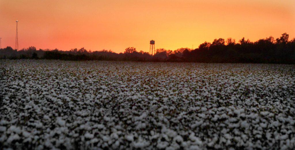 Cotton field at sunset