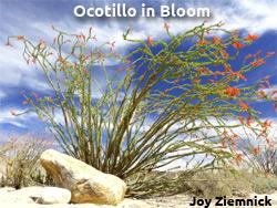 ocotilloinbloom
