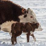 3-17-18-New-born-calf-on-a-Snowy-day