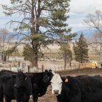 3-9-18-Cows-with-Baldie-in-Pine