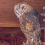 9-23-18-Barn-Owl-in-Barn
