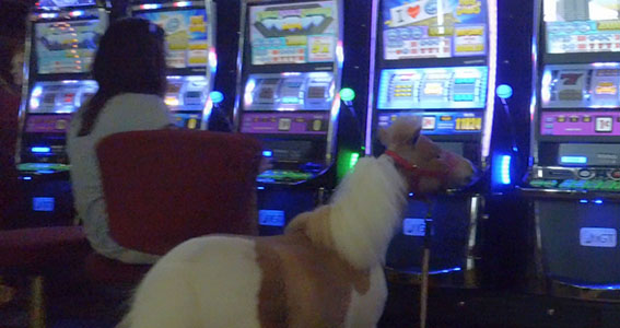 miniature horse at slot machine