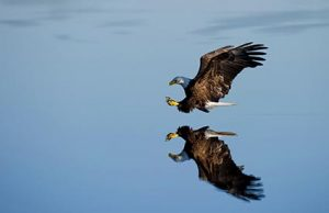 Eagle gliding across the water